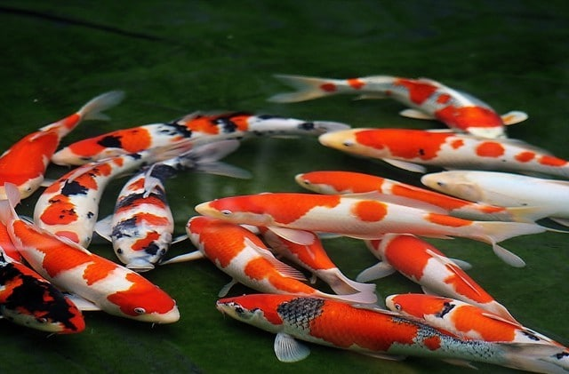 32 cool japanese loanwords we all use in english fluentu for Japanese koi names