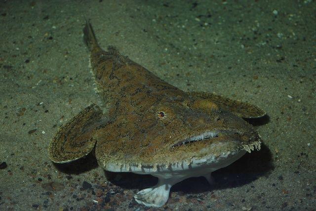 monk-fish
