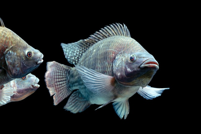 Go fish 30 spanish fish names every traveler oughta know for What type of fish is tilapia