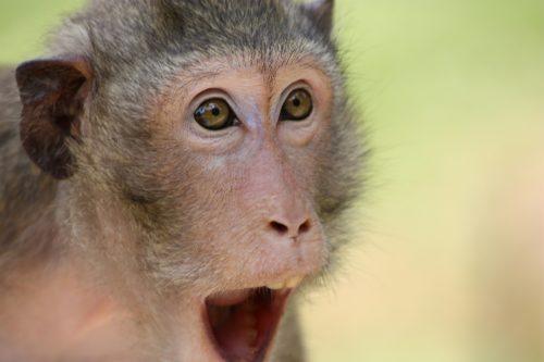 the-monkey-409407_1920